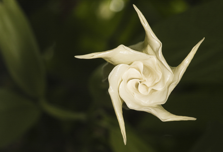 datura view from below